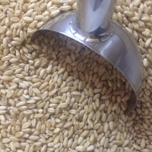Grain - wheat